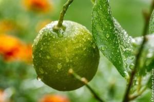 Hogyan gondozzuk a citromfánkat? - A leggyakoribb betegségek