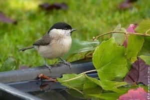 Milyen az ideális madáritató? Csalogass pancsoló madarakat a kertbe!