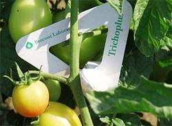 Petefürkész darazsakkal a zöldségféléket károsító lepkék ellen