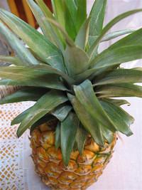 Saját-ananász-termesztése-Hawaii