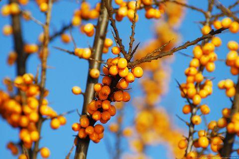 Homoktövis, a vitaminbomba