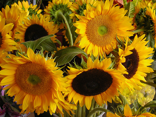 Napraforgó - a szépség és a fény virága