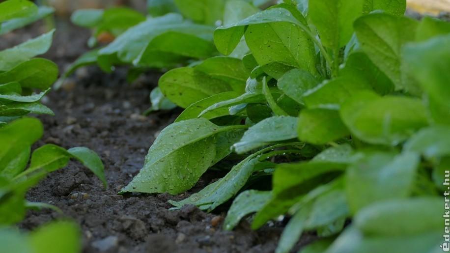 Spenót termesztése egyszerűen