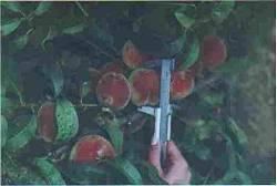 Az őszibarack virágritkításával szebb termést kapunk