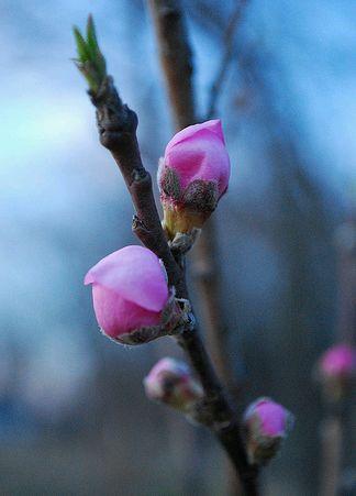 őszibarack virág