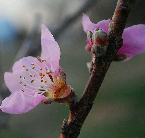 őszibarackfa virága