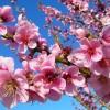 Az őszibarack virágritkításával szebb termést kapunk!