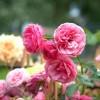Rózsák háborúja - a kár és kórokozókkal