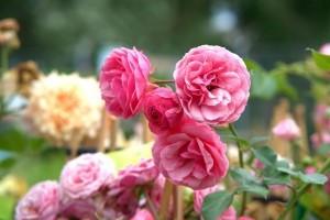 Rózsák háborúja a kórokozókkal