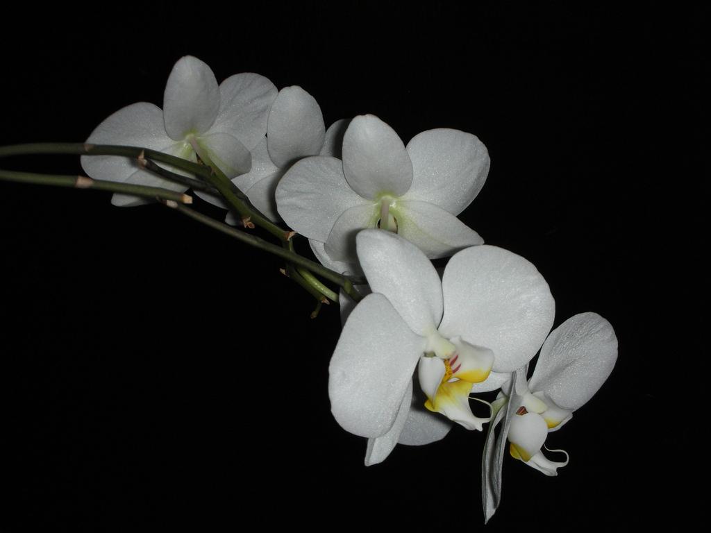 Orchidea - hogyan neveljük otthonunkban?