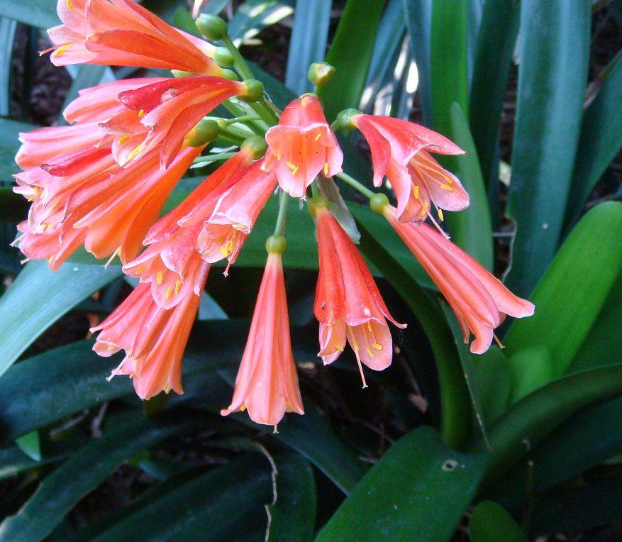 Klivia - a mindenttűrő virág