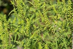 Mi is a Parlagfű? Van remény az allergiások számára?
