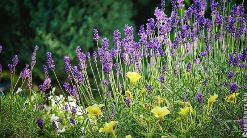 Illatos növények: használjuk ki jótékony hatásukat