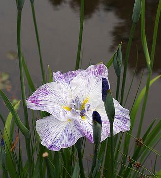 Milyen növényt ültessünk a kerti tóba?- Mocsári növények