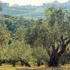 Olajfa - a gyógyítók és szentek fája