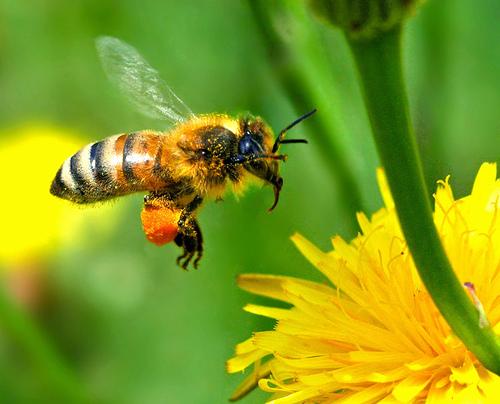 Mit tudunk a méhekről?- egy miniállam élete