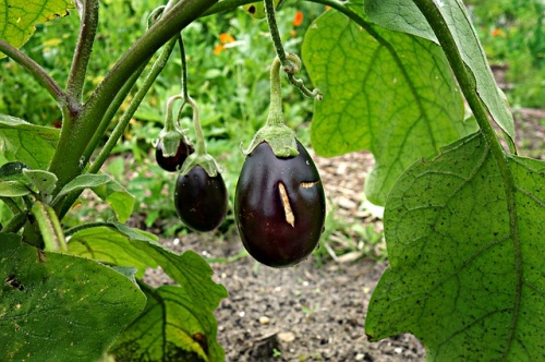 eggplant-1491949_640