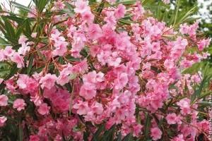 Hogyan gondozzuk a leandert, hogy sok virágot hozzon?