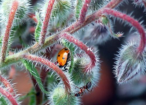 Az uborkaszagú Borágó (Borago officinalis)