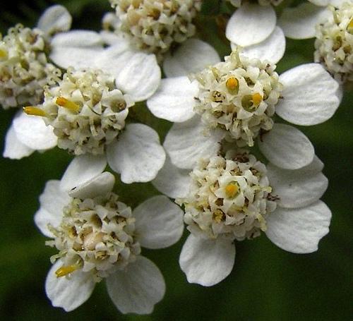 Cickafark (Achillea millefolium) - Achilleus gyógyfüve