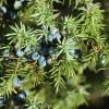 Miért fontos, hogy legyen boróka a kertünkben?  A borókabogyó gyógyhatású!