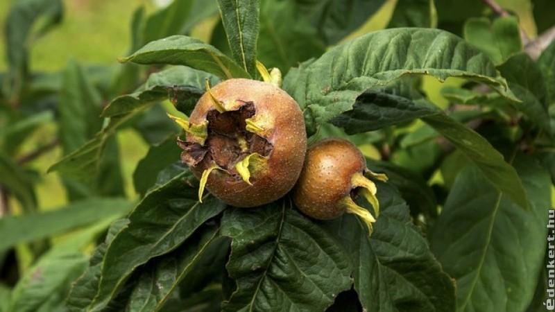 Naspolya: dísznövényként és gyümölcsként is ott a helye a kertben