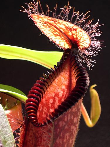 Húsevő növények és gyógyító hatásaik
