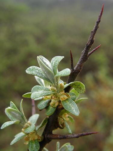Homoktövis - Hippophae rhamnoides