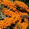 Hogyan termesszünk homoktövist (Hippophae rhamnoides)?