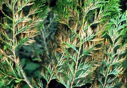 Mitől száradnak a tuja levelei, avagy mi is az a didimaszcella?