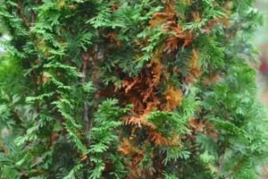Mitől száradnak a tuja levelei?