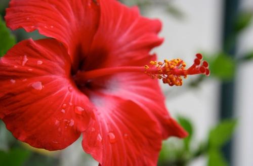 Hibiszkusz (Hibiscus): erősíti a csít és a szerelmet