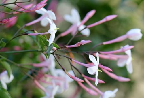 Jázmin (Jasminum): a barátság virága