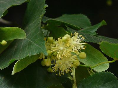 Tilia-cordata-Kislevelű-hárs