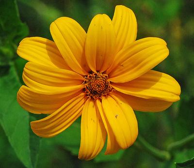 Érdes-napszemvirág-Heliopsis-helianthoides