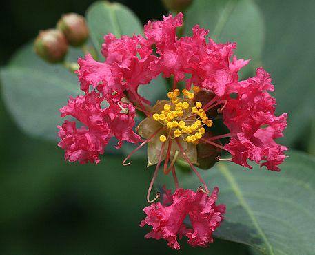 kínai selyemmirtusz virága