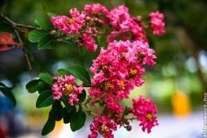 Legyen a kertünkben kínai selyemmirtusz (Lagerstroemia indica)!