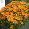 Az igéző krizantémok feldobják az őszi otthont