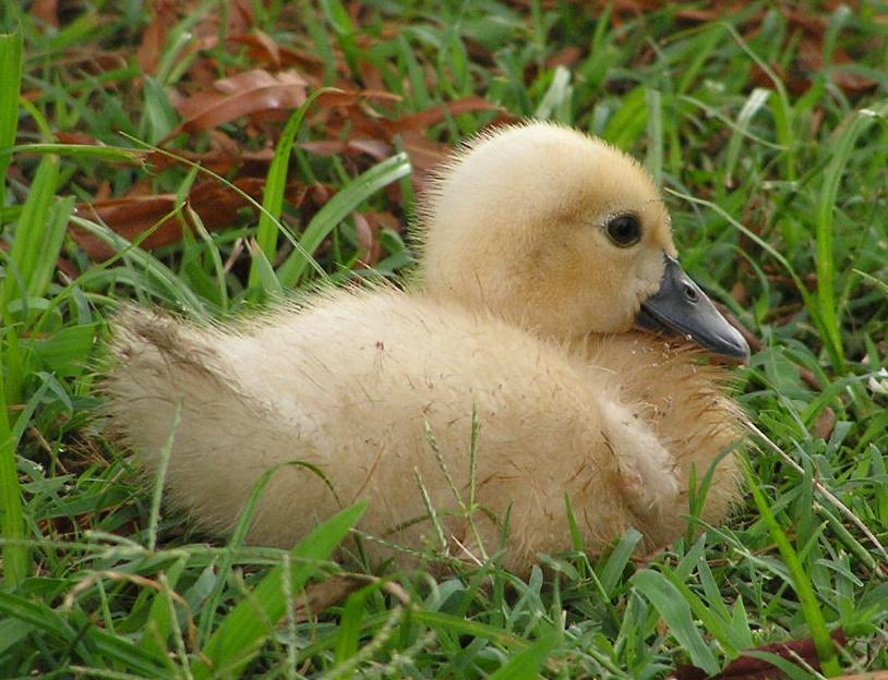 kacsa a fűben