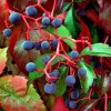 Ültessünk Vadszőlőt (Parthenocissus quinquefolia)!