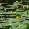 Telepítsünk vízitököt a kerti tóba (Nuphar lutea)!