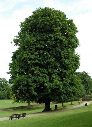 vadgesztenyefa egy parkban
