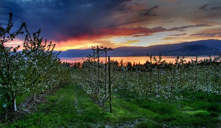 Az intenzív cseresznyeültetvények hamar termőre fordulnak