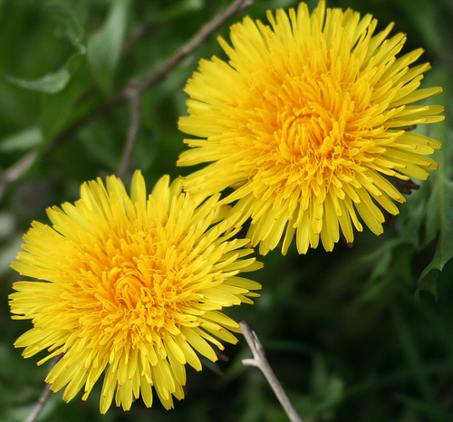 két pitypang virág
