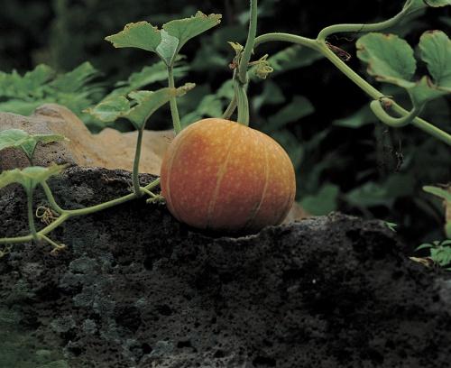 tok-termesztese