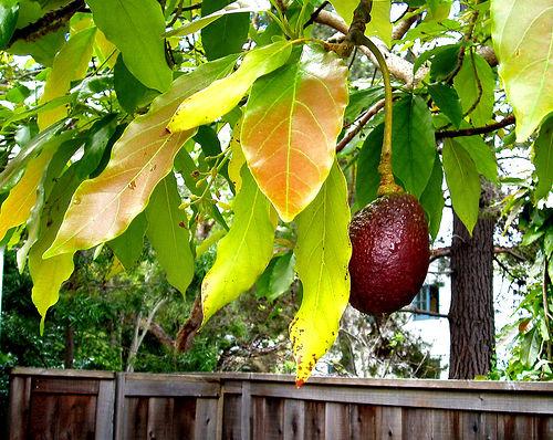 Avokádófa terméssel