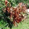 Milyen növényekre veszélyes a tűzelhalás?