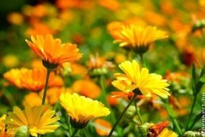 A körömvirág termesztése és ápolása