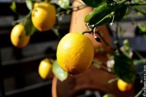 Vessünk magról citromot!