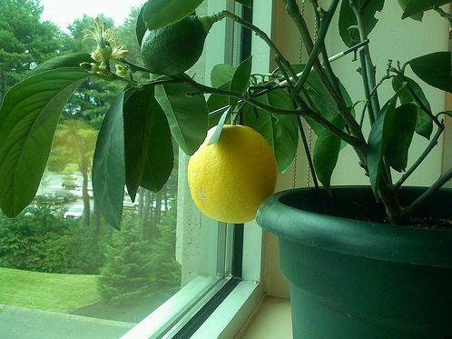 citromfa-ablakban
